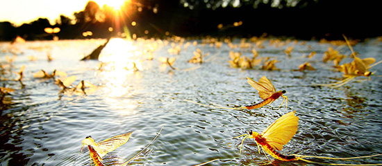 Tiszavirágzás – hamarosan életre kel a folyó